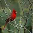 Stock Photo: Male Northern Cardinal