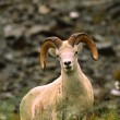 Foto de Stock  : Dall Sheep Ram