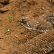 Diamondback Rattlesnake — Stock Photo #5844679