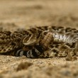 Diamondback Rattlesnake Coiled — Stock Photo #5844715