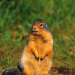 Stock Photo: Columbian Ground Squirrel
