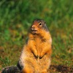 Columbian Ground Squirrel — Stock Photo