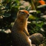 Columbian Ground Squirrel Backlit — Stock Photo