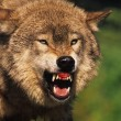 Snarling Wolf — Stock Photo #5849322