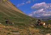 Berany ovce tlustorohá lůžkový — Stock fotografie
