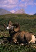 Yataklı bighorn koyun ram — Stok fotoğraf