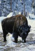 冬のバイソン — ストック写真