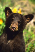 Black Bear Cub — Stock Photo