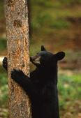 Black Bear Climbing Tree — Stock Photo