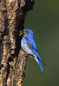 Male Mountain Bluebird — Stock Photo