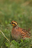 Female Bobwhite Quail — Stock Photo