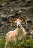 Dall 羊 ram — 图库照片