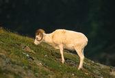Carnero de dall ovejas de alimentación — Foto de Stock