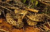 Diamondback Rattlesnake Coiled — Stock Photo