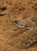 Diamondback Rattlesnake — Stock Photo