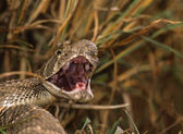 Diamondback Rattlesnake With Open Mouth — Stock Photo