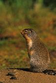 Columbian Ground Squirrel Chirping — Stock Photo