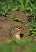 Columbian Ground Squirrel at Burrow — Stock Photo