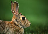 Cottontail Rabbit Portrait — Stock Photo