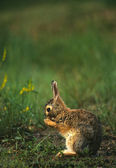 Wet Cottontail Rabbit in Grass — Stock Photo