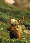 Bull Elk in Velvet — Stock Photo