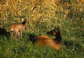 Elk Cow and Calf — Stock Photo