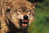 Snarling Wolf — Stock Photo