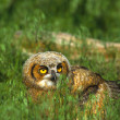 Stock Photo: Great Horned Owlet