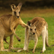 Kangaroos in Love — Stock Photo