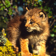Royalty-Free Stock Photo: Canadian Lynx Kitten