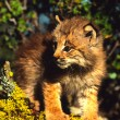 Canadian Lynx Kitten — Stock Photo