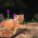 Canadian Lynx Kitten — Stock Photo #5854659