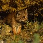 Canadian Lynx Kitten — Stock Photo #5854712