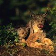Canadian Lynx with Kitten — Stock Photo #5854751
