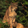 Canadian Lynx with Kitten — Stock Photo