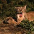 Canadian Lynx with Kitten — Stock Photo #5854944