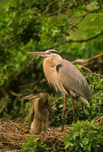 Great Blue Heron on Nest — Stock Photo