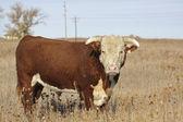 Hereford Bull — Stock fotografie