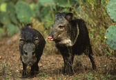 A pair of young wild boars — Stock Photo
