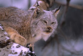 Canadian Lynx Portrait in Snow — Stock Photo