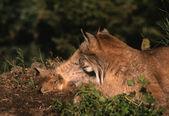 Canadian Lynx with Kitten — Stock Photo