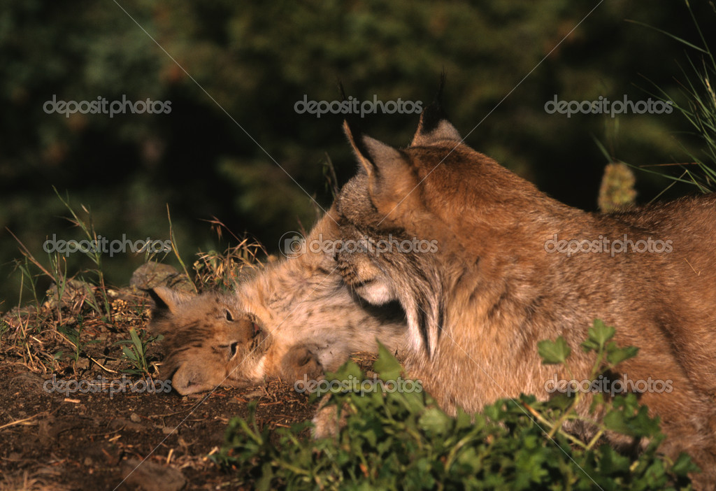 A female lynx playing with her kitten  Stock Photo #5854908
