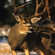 A huge mule deer buck — Stock Photo