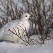 White-tailed Ptarmigan in Winter — Stock Photo