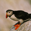 Stock Photo: Atlantic Puffin on Rock