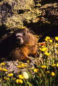 Yellow -bellied Marmot Portrait in Wildflowers — Stock Photo