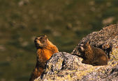 Yellow - bellied marmotte su roccia — Foto Stock