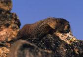 Geel - bellied marmot op rots — Stockfoto