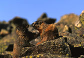 Yellow -bellied Marmots on Rock — Stock Photo