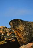 Yellow -bellied Marmot Portrait — Stock Photo